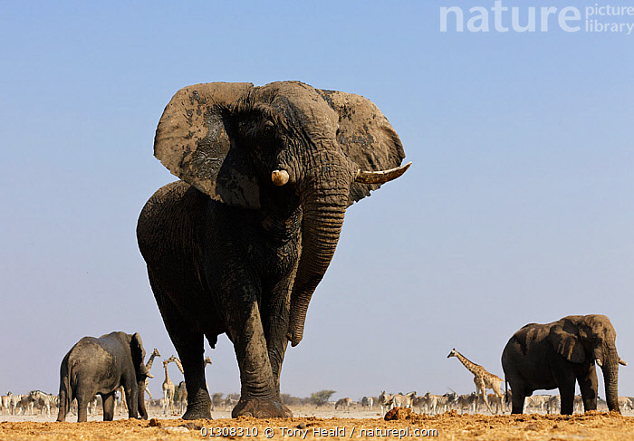 African elephant (Loxodonta africana) threat display by shaking head, at waterhole with wildlife in the background, Etosha National Park, Namibia, August, AFRICA,AGGRESSION,BEHAVIOUR,ELEPHANTS,ENDANGERED,GIRAFFES,HABITAT,MAMMALS,MIXED SPECIES,NAMIBIA,NP,OSTRICH,PROBOSCIDS,RESERVE,SOUTHERN AFRICA,VERTEBRATES,Concepts,National Park, Tony Heald