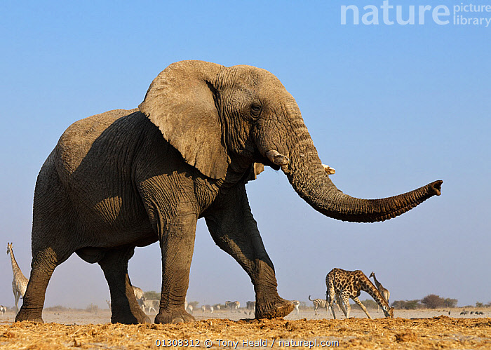 African elephant (Loxodonta africana) at waterhole with Giraffe in the background, Etosha National Park, Namibia, August, ELEPHANTS,GROUPS,MAMMALS,MOVEMENT,outdoors,side view,SOUTHERN AFRICA,swaying,WILDLIFE,AFRICA,catalogue3,ENDANGERED,Etosha National Park,full length,giraffe,large group,large group of animals,MIXED SPECIES,namibia,Nobody,NP,PROBOSCIDS,RESERVE,sleepy,trunk,TRUNKS,VERTEBRATES,WALKING,WATERHOLE,watering hole,National Park, Tony Heald