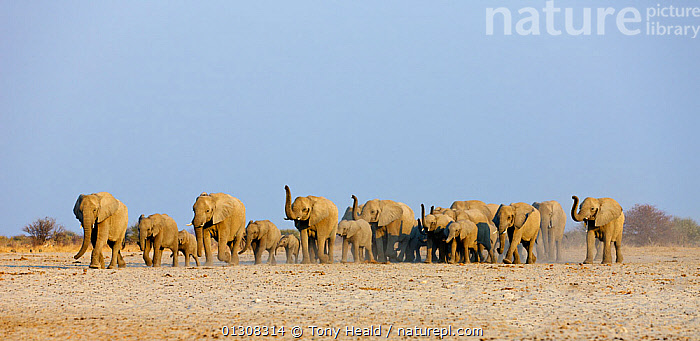 African elephant [Loxodonta africana] female herd approaching waterhole with trunks raised to smell danger, Etosha National Park, Namibia, August, AFRICA,BABIES,BEHAVIOUR,DESERTS,ELEPHANTS,ENDANGERED,FAMILIES,GROUPS,LANDSCAPES,MAMMALS,NAMIBIA,NP,PROBOSCIDS,RESERVE,SMELLING,SNIFFING,SOUTHERN AFRICA,TRUNKS,VERTEBRATES,WALKING,National Park, Tony Heald