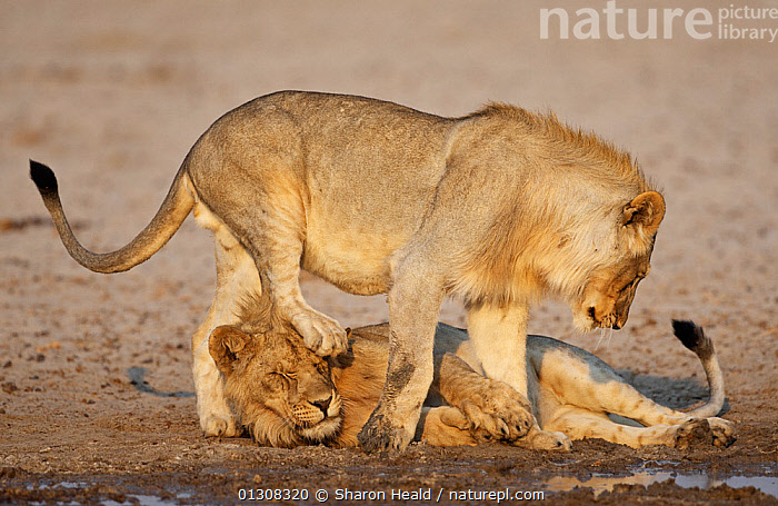African lion [Panthera leo] juvenile males playing,