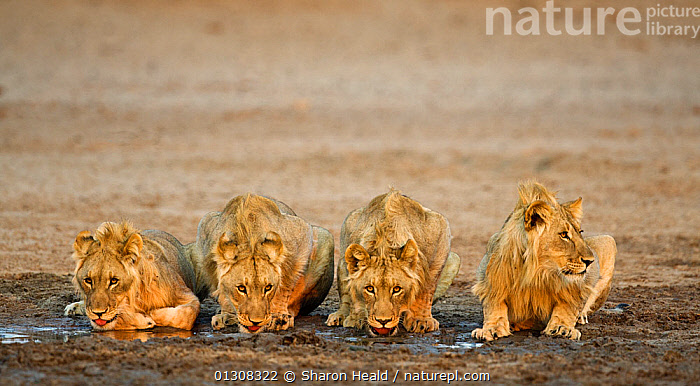 African lion [Panthera leo] juvenile males, four brothers drinking, Etosha National Park, Namibia, August, AFRICA,BEHAVIOUR,BIG CATS,BROTHER,BROTHERS ,CARNIVORES,DRINKING,FAMILIES,JUVENILE,LIONS,MALES,MAMMALS,NAMIBIA,NP,RESERVE,SIBLINGS,SOUTHERN AFRICA,VERTEBRATES,WATER,National Park, Sharon Heald