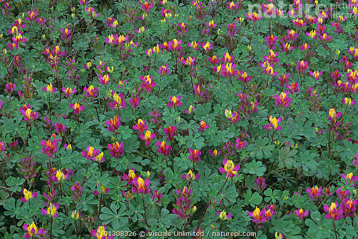 Harlequin lupines (Lupinus stiversii) California, USA., &,ABUNDANCE,BARBARA,BEAUTY,BOTANY,CA,CALIFORNIA,CLOSE UP,COLOR,FLOWER,FLOWERS,FRAME,GERLACH,HARLEQUIN,IMAGE,JOHN,LANDSCAPE,LARGE,LUPINE,LUPINES,LUPINUS,LUSHNESS,MEADOW,MEADOWS,MULTICOLORED,NATURAL,OUTDOORS,PLANTS,PROFUSION,SPRING,STIVERSII,USA,VISTA,WILDFLOWER,WILDFLOWERS,North America, Visuals Unlimited