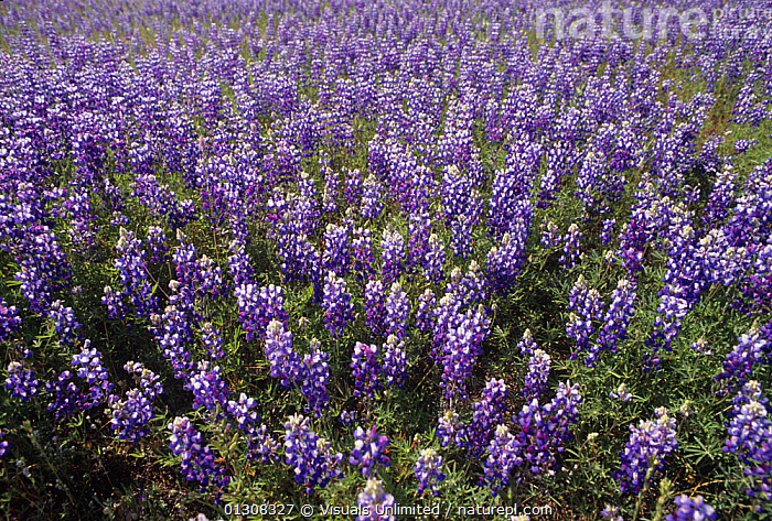 Meadow Lupines (Lupinus polyphyllus) California, USA., ABUNDANCE,BEAUTY,BETTY,BLUE,BOTANY,CA,CALIFORNIA,CLOSE UP,COLOR,FLOWER,FLOWERS,FRAME,IMAGE,LANDSCAPE,LARGE,LUPINE,LUPINES,LUPINUS,LUSHNESS,MEADOW,MEADOWS,NATURAL,OUTDOORS,PLANTS,POLYPHYLLUS,PROFUSION,SEDERQUEST,SPRING,USA,WILDFLOWER,WILDFLOWERS,North America, Visuals Unlimited