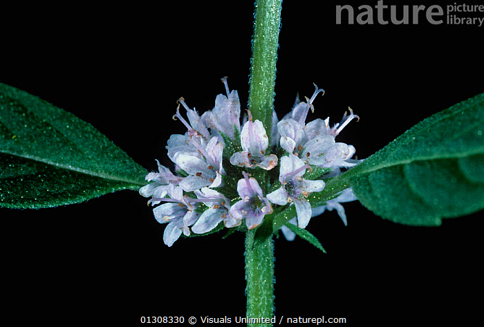 Spearmint (Mentha spicata) showing the square stem and opposite leaves and flowers., 73072607,BOTANY,FLOWER,FLOWERS,HERB,HERBS,JEROME,LEAF,LEAVES,MENTHA,MINT,MINTS,OPPOSITE,PLANTS,SPEARMINT,SPICATA,STEM,STEMS,WEXLER, Visuals Unlimited
