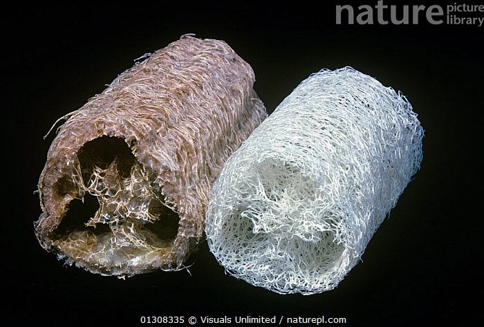 Close-up of the cellulose fibers of a natural, left, and a washed, right, Sponge gourd / Luffa sponge (Luffa cylindrica), 80669093,AGRICULTURE,BOTANY,CELLULOSE,CURCURBITACEAE,CYLINDRICA,GOURD,JEROME,LOOFA,LOOFAH,LUFFA,PLANT,PLANTS,SPONGE,SPONGES,WEXLER, Visuals Unlimited