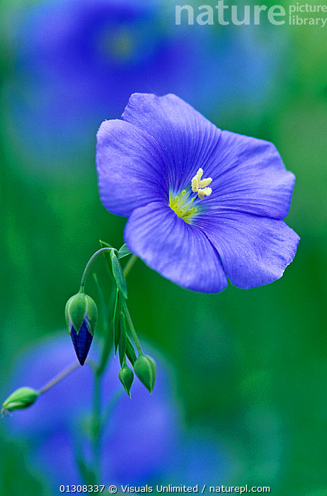 Common flax flower (Linum usitatissimum)., AGRICULTURE,BEAUTY,BLUE,BOTANY,BUD,BUDS,CLOSE UP,COLOR,CROP,CROPS,DOMM,DRINK,EATING,FIBER,FLAX,FLOWER,FLOWERS,FOCUS,FOOD,FRAME,FRESHNESS,GROWTH,HARVEST,HEALTHCARE,HEALTHY,IMAGE,LINUM,MEDICINE,NATURAL,ONE,OUTDOORS,PETAL,PLANT,PLANTS,RAW,ROBERT,SEED,SELECTIVE,USITATISSIMUM,VERTICAL,Concepts, Visuals Unlimited