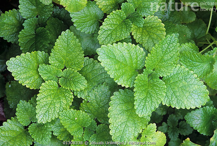 Lemon Balm herb leaves (Melissa officinalis), BACKGROUNDS,BALM,CLOSE,COLOR,DIRECTLY,FLAVORING,GREEN,HERB,IMAGE,LEAF,LEMON,MELISSA,OFFICINALIS,OUTDOORS,PATTERN,PLANTS,SEASONING,SPICE,VEIN, Visuals Unlimited