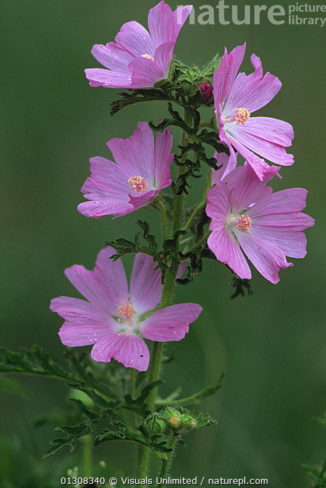 Musk mallow flowers (Malva moschata) North America., ACTIVITY,AMERICA,BEAUTY,BLOOM,BOTANY,BRIGHT,CLOSE UP,COLOR,DELICATE,FIVE,FLORAL,FLOWER,FLOWERS,FOCUS,FRAGILITY,FRAME,FRESHNESS,GARDENING,GROWTH,IMAGE,LEISURE,MALLOW,MALLOWS,MALVA,MOSCHATA,MUSK,NATURAL,NORTH,ONE,OUTDOORS,PETAL,PINK,PLANT,PLANTS,PURE,SCENT,SELECTIVE,SIMPLICITY,SOFTNESS,VERTICAL,VIBRANT,WILDFLOWER,WILDFLOWERS,Concepts, Visuals Unlimited
