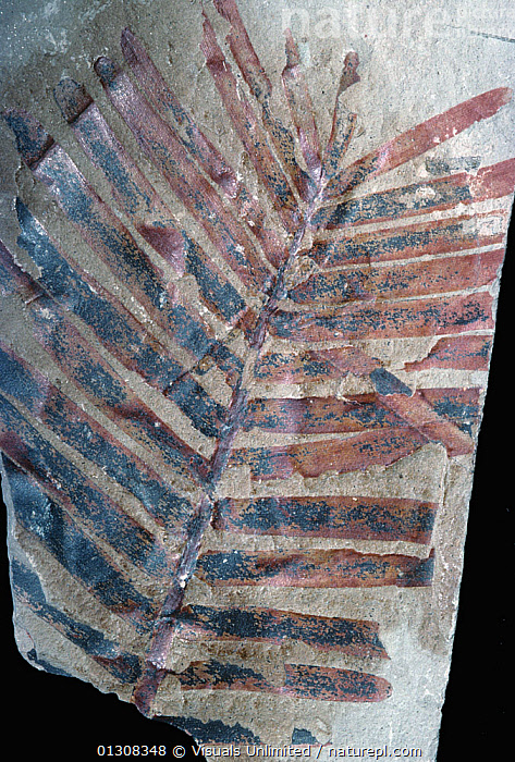 Fern fossil, Triassic Period, 200 m.y.a., Arizona, USA., ANCIENT,ARIZONA,AZ,COLOR,EARTH,EXTINCT,FERN,FOSSIL,FOSSILS,IMAGE,KEN,LUCAS,PALEONTOLOGY,PHYSICAL,PLANT,PLANTS,TIME ,TRIASSIC,USA,VERTICAL,North America, Visuals Unlimited