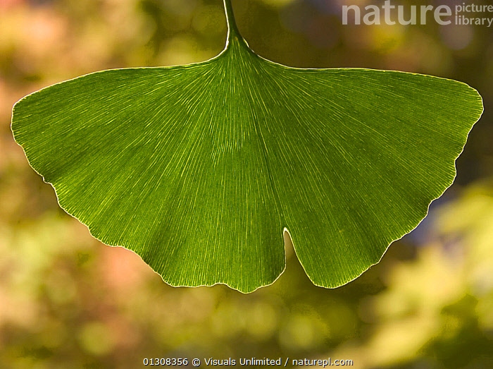Ginkgo (Ginkgo biloba) leaf. Extracts from the leaves of the Ginkgo are believed to have medicinal value helpful in everything from circulation of the blood to memory disorders., BILOBA,BOTANY,GINKGO,HEALTH,HERBAL,LEAF,LEAVES,MAIDENHAIR,MEDICAL,MEDICINAL,MEDICINE,PLANTS,RDF,SCIENTIFICA,TREE,VIS450103, Visuals Unlimited