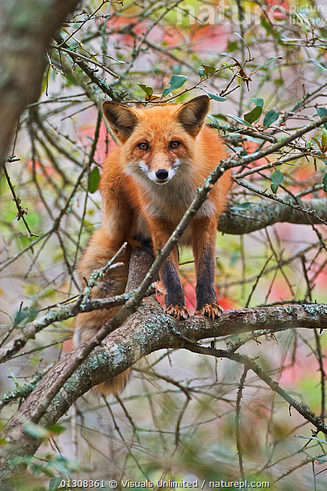 Red fox (Vulpes vulpes) in a tree, North America., ADAM,AMERICA,ANIMAL,ANIMALS,BEAUTY,BEHAVIOR,BIOLOGY,CLIMBING,CLOSE UP,COLOR,CUTE,FOREST,FOX,FOXES,IMAGE,JONES,LOOKING,MAMMAL,MAMMALS,NATURAL,NORTH,ONE,OUTDOORS,RED,VERTICAL,VULPES,WILDLIFE, Visuals Unlimited