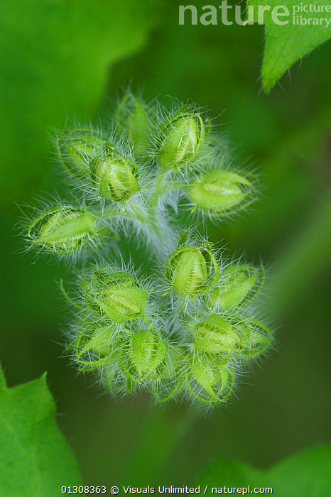 Wild geranium (Geranium maculatum) flower buds, USA., ACTIVITY,ADAM,BEAUTY,BLOOM,BOTANY,BRIGHT,BUD,BUDS,CLOSE UP,COLOR,DELICATE,FLORAL,FLOWER,FLOWERS,FRAGILITY,FRAME,FRESHNESS,GARDENING,GERANIUM,GERANIUMS,GROWTH,IMAGE,INNOCENCE,JONES,LEISURE,MACULATUM,NATURAL,ONE,OUTDOORS,PATTERN,PETAL,PLANT,PLANTS,PURE,SCENIC,SCENT,SIMPLICITY,SOFTNESS,TRICHOME,TRICHOMES,USA,VERTICAL,VIBRANT,WILD,WILDFLOWER,Concepts,North America, Visuals Unlimited