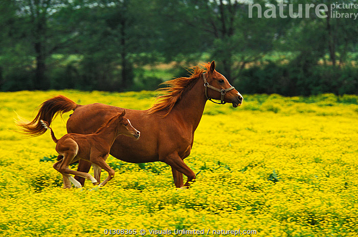 Arabian horse (Equus caballus) mare with foal running through a field of Buttercup (Ranunculus sp) flowers., AGILITY,ALERTNESS,ANIMAL,ANIMALS,ARAB,ARABIAN,BEAUTY,BEGINNINGS,BEHAVIOR,BONDING,BUTTERCUPS,CARE,CAREFREE,COLOR,FEMALE,FIELD,FLOWERS,FOAL,FOCUS,GRACE,GROWTH,HORSE,IMAGE,LANDSCAPE,MAMMAL,MAMMALS,MARE,MEADOW,MOVE,NATURAL,OUTDOORS,PROTECTION,RANUNCULUS,RUNNING,SCENIC,SIMPLICITY,SPACE,SPEED,SUMMER,THEMES,TOGETHERNESS,TRANQUIL,TWO,WILD,WILDLIFE,YELLOW,Concepts, Visuals Unlimited
