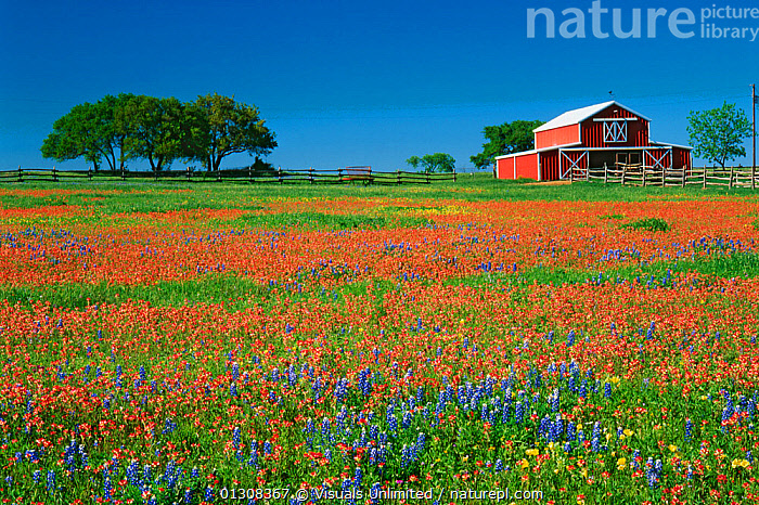 Red barn among Texas paintbrush (Castilleja indivisa) and Texas bluebonnet (Lupinus texensis) wildflowers, Texas, USA., ANGLE,BARN,BEAUTY,BLUEBONNET,BLUEBONNETS,CALMING,CASTILLEJA,CLEAR,COLOR,FENCE,FLOWER,FLOWERS,HIGH,IMAGE,INDIVISA,LANDSCAPE,LARGE,LUPINES,LUPINUS,MEADOW,OBJECTS,OUTDOORS,PAINTBRUSH,PLANTS,RED,SCENIC,SIMPLICITY,SKY,STATE,TEXAS,TEXENSIS,TRANQUIL,USA,WILDFLOWERS,North America, Visuals Unlimited