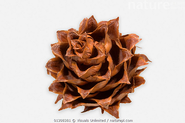 China fir (Cunninghamia lanceolata) seed cone, BEAUTY,BOTANY,CHINA,CHINA FIR,CLOSE UP,COLOR,CONE,CONES,CONIFER,CONIFERS,CUNNINGHAMIA,EVERGREEN,EVERGREENS,FEMALE,FIR,FIRS,FRAME,IMAGE,LANCEOLATA,LEAF,NATURAL,NEEDLE,ONE,PLANT,PLANTS,SEED,SHOT,STUDIO,WHITE,Asia, Visuals Unlimited