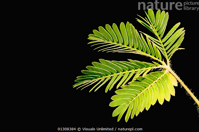 Sensitive plant (Mimosa pudica) leaves opened. (sequence 1/2), BLACK,BOTANY,CLOSE UP,COLOR,FRAME,IMAGE,LEAF,LEAVES,MIMOSA,NATURAL,ONE,PATTERN,PLANT,PLANTS,PUDICA,RESPONSE,RESPONSES,SCIENTIFICA,SENSITIVE,SHOT,STUDIO,THIGMOTROPISM,TOUCH,TROPISM,TROPISMS, Visuals Unlimited