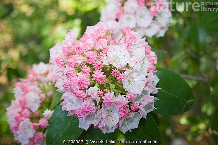 Mountain laurel (Kalmia latifolia) flowers, Eastern North America., ACTIVITY,BEAUTY,BLOOM,BOTANY,BRIGHT,CLOSE UP,COLOR,DELICATE,EASTERN,FLORAL,FLOWER,FLOWERS,FOCUS,FRAGILITY,FRAME,FRESHNESS,GARDENING,GROWTH,IMAGE,KALMIA,KAMIA,LATIFOLIA,LAUREL,LEISURE,MOUNTAIN,NATURAL,ONE,OUTDOORS,PETAL,PLANT,PLANTS,PURE,SCENT,SCIENTIFICA,SELECTIVE,SIMPLICITY,SOFTNESS,USA,VIBRANT,WILDFLOWER,Concepts,North America, Visuals Unlimited