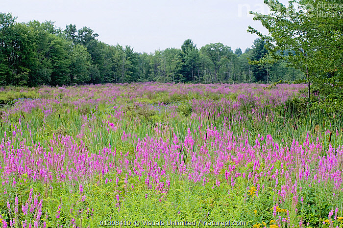 Purple loosestrife (Lythrum salicaria), an introduced and invasive species in wetland habitats, North America., ALIEN,BOTANY,ENVIRONMENT,INTRODUCED,INVASIVE,LOOSESTRIFE,LYTHRUM,MARSH,MARSHES,PURPLE,SALICARIA,SCIENTIFICA,SPECIES,WETLAND,WETLANDS, Visuals Unlimited