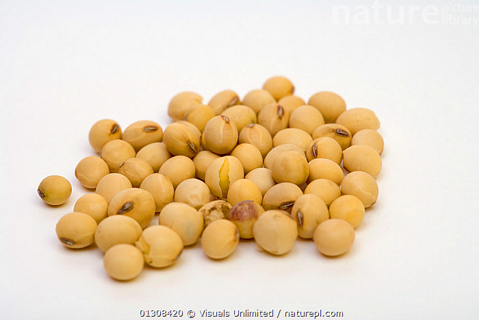 Soybeans, AGRICULTURE,ANGLE,BOTANY,COLOR,FOOD,GLYCINE,HIGH,IMAGE,LARGE,MAX,OBJECTS,PLANTS,SEED,SHOT,SOYBEAN,STUDIO,WHITE,YELLOW, Visuals Unlimited
