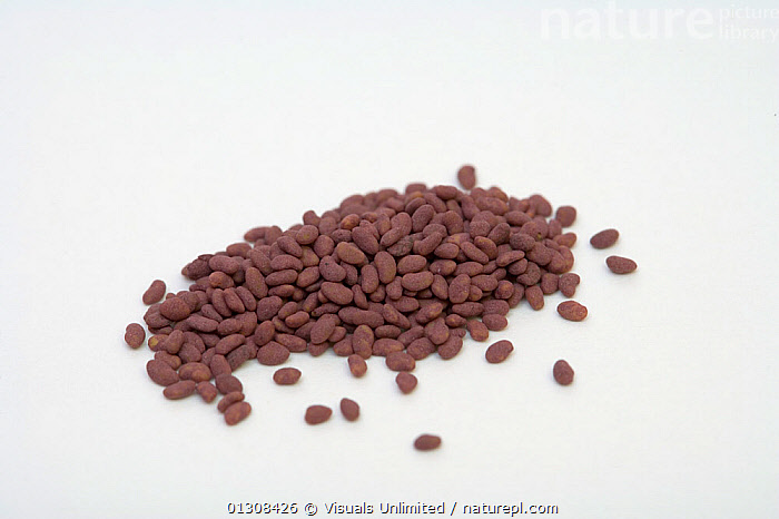Alfalfa seeds (Medicago sativa)., AGRICULTURE,ALFALFA,BOTANY,CLOSE UP,CLUSTER,COLOR,DRINK,EATING,FOOD,FRESHNESS,GROWTH,HARVEST,HEALTHY,IMAGE,LARGE,MEDICAGO,NATURAL,OUTDOORS,PILE,PLANTS,RAW,RIPE,SATIVA,SCIENTIFICA,SEED,SEEDS,SHOT,STUDIO,WHITE,WHOLE,Concepts, Visuals Unlimited