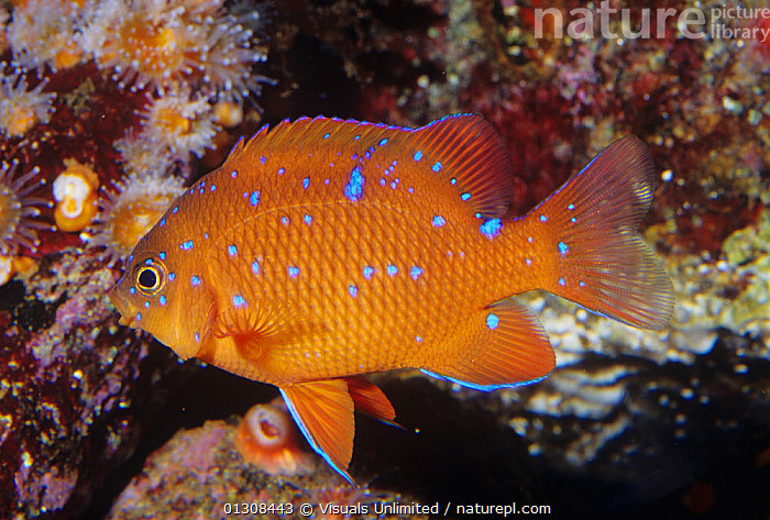 Garibaldi fish (Hypsypops rubicundus) juvenile, Southern California to Northern Mexico., ANIMAL,CALIFORNIA,CLOSE UP,COLOR,FIN,FINS,FISH,FISHES,GARIBALDI,GILL,HYPSYPOPS,ICHTHYOLOGY,KEN,LIFE,LUCAS,MARINE,NATURAL,OCEAN,ONE,OUTDOORS,RUBICUNDUS,SEA,SLIT,SLITS,UNDERWATER,USA,North America, Visuals Unlimited