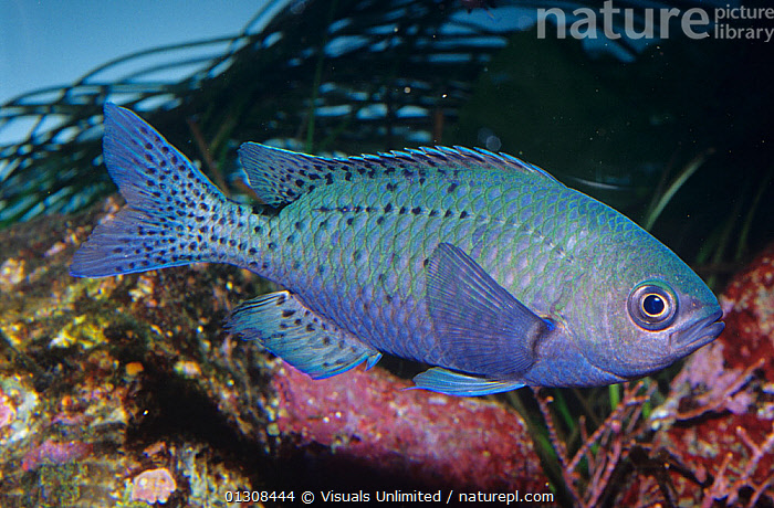 Blacksmith (Chromis punctipinnis) Central California, USA, 80668987,ANIMAL,ANIMALS,BLACKSMITH,BLACKSMITHS,CA,CHROMIS,CHROMISES,CLOSE UP,COLOR,EYE,FIAHES,FIN,FINS,FISH,FISHES,GILL,ICHTHYOLOGY,KEN,LIFE,LUCAS,MARINE,OCEAN,ONE,OUTDOORS,PUNCTIPINNIS,SCALES,SEA,SLIT,SLITS,SWIMMING,THEMES,UNDERWATER,WILD,North America, Visuals Unlimited