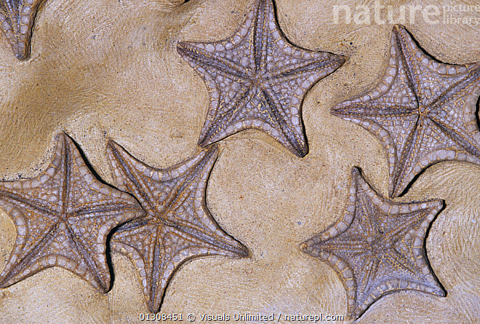 Fossil Seastars (Crateraster mccarteri), 85 m.y.a., Texas, USA., ANCIENT,COLOR,CRATERASTER,EARTH,EXTINCT,FOSSIL,KEN,LUCAS,MCCARTERI,PALEONTOLOGY,PHYSICAL,SEA,STARFISH,STARS,TEXAS,TIME ,TX,USA,North America, Visuals Unlimited