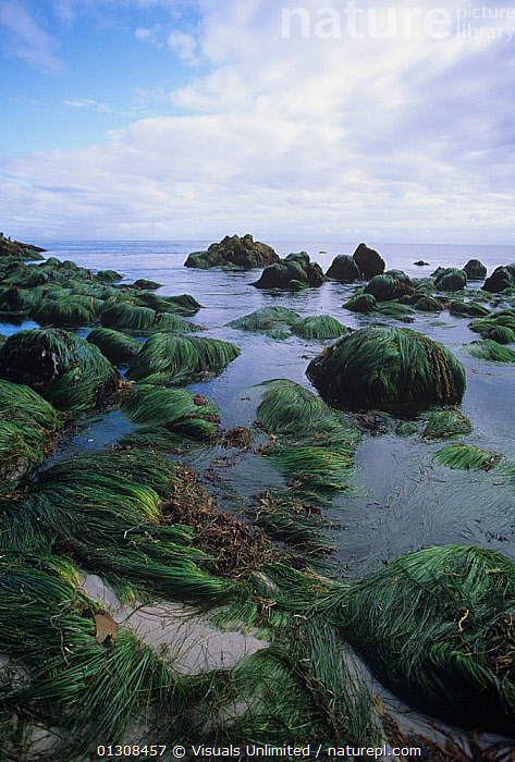 Surf grass (Phyllospadix sp), a marine flowering plant growing in the intertidal zone, California, USA, Pacific Ocean., 80669912,ADVENTURE,AWE,BEAUTY,BOTANY,CA,CALIFORNIA,CLOSE UP,CLOUD,COLOR,DAVID,DESTINATION,FLOWERING,GRASS,GRASSES,INTERTIDAL,LARGE,LIFE,MARINE,NATURAL,OCEAN,OUTDOORS,PACIFIC,PHYLLOSPADIX,PLANT,PLANTS,SCENIC,SEA,SKY,SURF,SURFGRASS,SURFGRASSES,TERRAIN,TRAVEL,VERTICAL,WROBEL,ZONE,concepts,USA,SIZE ,North America, Visuals Unlimited