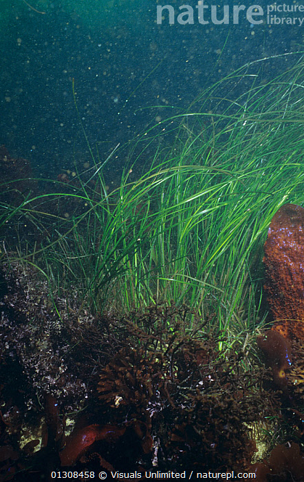 Surf grass (Phyllospadix torreyi) a marine flowering plant growing underwater, California, USA, Pacific Ocean., 80669910,BEAUTY,BOTANY,CA,CALIFORNIA,CLOSE UP,COLOR,DANIEL,FLOWERING,GOTSHALL,GRASS,GRASSES,LIFE,MARINE,MOTION,NATURAL,OCEAN,OUTDOORS,PACIFIC,PHYLLOSPADIX,PLANT,PLANTS,SEA,SMALL,SURF,SURFGRASS,SURFGRASSES,TORREYI,UNDERWATER,VERTICAL,USA,SIZE ,North America, Visuals Unlimited