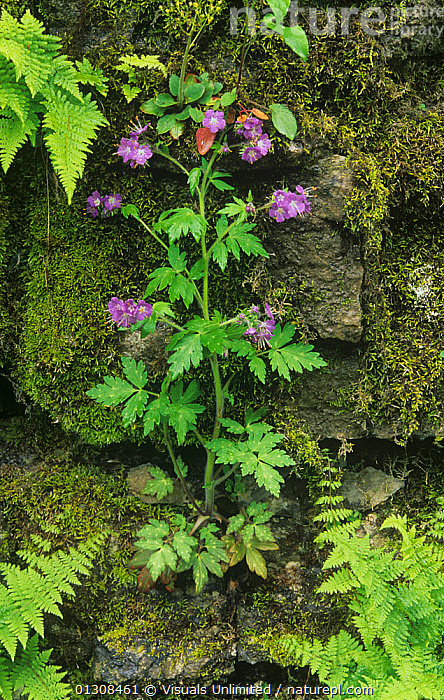 Purple / Fernleaf phacelia (Phacelia bipinnatifida) growing on a mossy rock wall with nearby ferns, Eastern USA., ACTIVITY,ADAM,BEAUTY,BIPINNATIFIDA,BLOOM,BOTANY,BRIGHT,CLOSE UP,COLOR,DELICATE,EASTERN,FERN,FERNLEAF,FERNS,FLORAL,FLOWER,FLOWERS,FRAGILITY,FRAME,FRESHNESS,GARDENING,GROWTH,INNOCENCE,JONES,LEISURE,MOSS,MOSSES,MOSSY,NATURAL,OUTDOORS,PETAL,PHACELIA,PHACELIAS,PLANTS,PURE,PURPLE,ROCK,SCENIC,SCENT,SIMPLICITY,SMALL,SOFTNESS,SPRING,USA,VERTICAL,VIBRANT,WALL,WALLS,WILDFLOWER,WILDFLOWERS,Concepts,North America, Visuals Unlimited