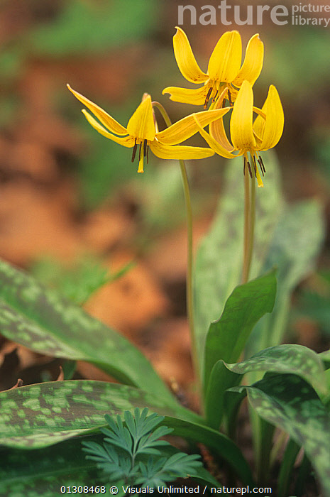 Trout lily (Erythronium americanum) Eastern USA., ACTIVITY,ADAM,BEAUTY,BLOOM,BOTANY,BRIGHT,CLOSE UP,COLOR,DELICATE,DOGTOOTH,EASTERN,ERYTHRONIUM,FLORAL,FLOWER,FLOWERS,FRAGILITY,FRAME,FRESHNESS,GARDENING,GROWTH,INNOCENCE,JONES,LEISURE,LILY,NATURAL,ONE,OUTDOORS,PETAL,PLANT,PLANTS,PURE,SCENIC,SCENT,SIMPLICITY,SOFTNESS,SPRING,TROUT,USA,VERTICAL,VIBRANT,VIOLET,WILDFLOWER,WILDFLOWERS,YELLOW,Concepts,North America, Visuals Unlimited