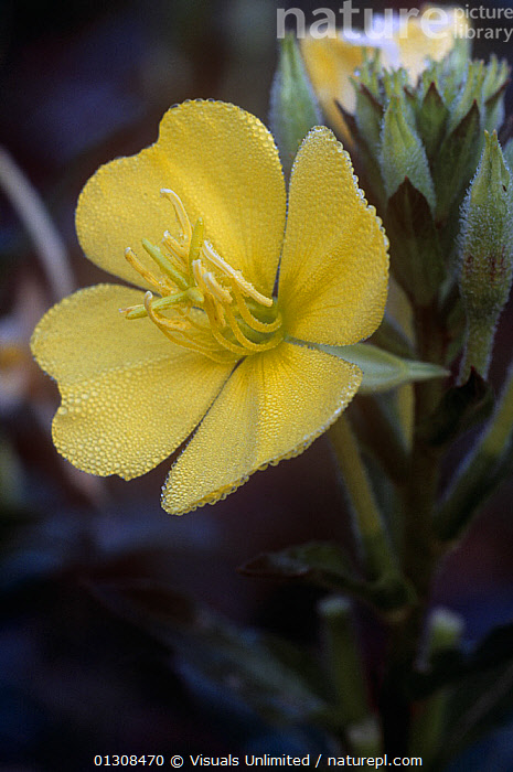 Evening primrose (Oenothera biennis) flower with dew, USA., ACTIVITY,BEAUTY,BIENNIS,BLOOM,BOTANY,BRIGHT,CLOSE UP,COLOR,DELICATE,DEW,DEWY,EVENING,FLORAL,FLOWER,FLOWERS,FOCUS,FRAGILITY,FRAME,FRESHNESS,GARDENING,GROWTH,JOE,LEISURE,MCDONALD,NATURAL,OENOTHERA,ONE,OUTDOORS,PETAL,PLANT,PLANTS,PRIMROSE,PRIMROSES,PURE,SCENT,SELECTIVE,SIMPLICITY,SOFTNESS,USA,VERTICAL,VIBRANT,WILDFLOWER,WILDFLOWERS,YELLOW,Concepts,North America, Visuals Unlimited