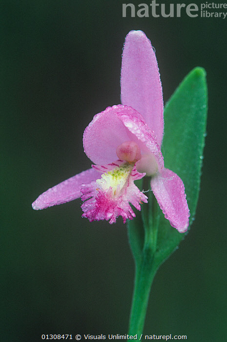 Rose pogonia (Pogonia ophioglossoides) flower, a native orchid, Eastern USA., &,ACTIVITY,BARBARA,BEAUTY,BLACK,BLOOM,BOTANY,BRIGHT,CLOSE UP,COLOR,DELICATE,EASTERN,FLORAL,FLOWER,FLOWERS,FOCUS,FRAGILITY,FRAME,FRESHNESS,GARDENING,GERLACH,GROWTH,JOHN,LEISURE,NATURAL,ONE,OPHIOGLOSSOIDES,ORCHID,ORCHIDS,OUTDOORS,PETAL,PLANT,PLANTS,POGONIA,PURE,ROSE,SCENT,SELECTIVE,SIMPLICITY,SOFTNESS,USA,VERTICAL,VIBRANT,WILDFLOWER,WILDFLOWERS,Concepts,North America, Visuals Unlimited