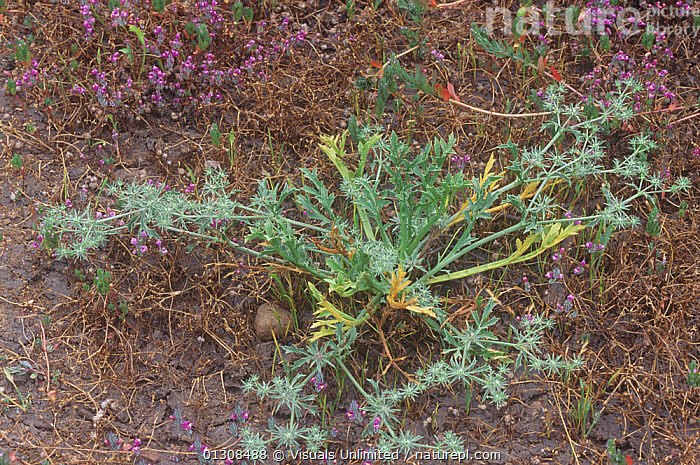 Coyote thistle (Eryngium aristulatum parishii). This vernal pool plant is a Federally endangered species, Southern California, USA., ARISTULATUM,BOTANY,CA,CALIFORNIA,CLOSE UP,COLOR,COYOTE,DOWNWARD,ENDANGERED,ERYNGIUM,FRAME,HERRMANN,NATURAL,ONE,OUTDOORS,PARISHII,PLANT,PLANTS,POOL,POOLS,RICHARD,SPECIES,THISTLE,USA,VERNAL,North America, Visuals Unlimited