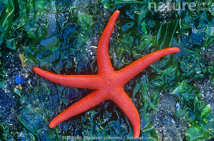Blood star (Henricia leviuscula), Pacific Coast., ANIMAL,BLOOD,COLOR,DIRECTLY,ECHINODERM,HENRICIA,LEVIUSCULA,ONE,OUTDOORS,RADIAL,RED,SEA,STAR,STARFISH,SYMMETRY, Visuals Unlimited