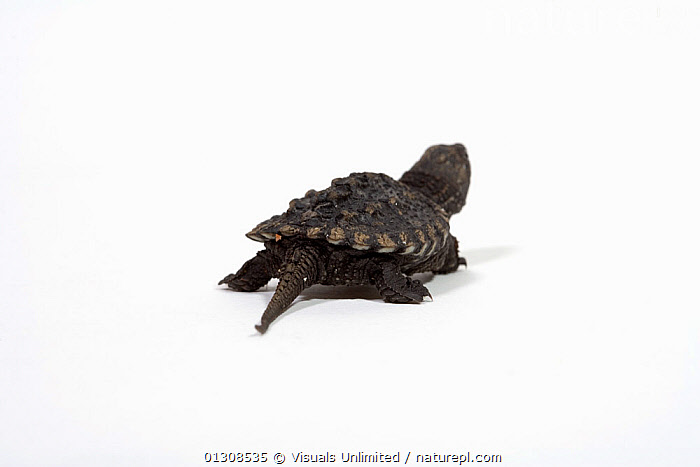 Baby Common snapping turtle (Chelydra serpentina), ANIMAL,BABY,CHELYDRA,CUTE,HERPETOLOGY,LIFE,NEW,ONE,REPTILES,SCIENTIFICA,SERPENTINA,SNAPPING,TURTLE,TURTLES, Visuals Unlimited