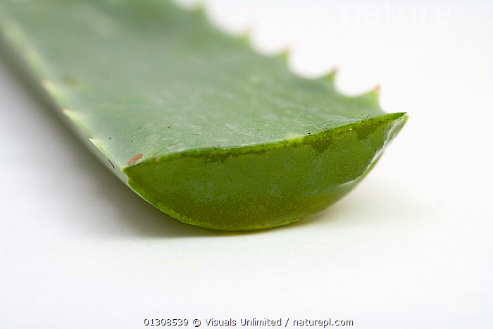 Close up of Aloe vera plant, ALOE,ALTERNATIVE,CLOSE,HERBAL,HOMEOPATHIC,MEDICINE,PLANT,PLANTS,SCIENTIFICA,SHOT,STUDIO,VERA,VERTICAL,WHITE, Visuals Unlimited