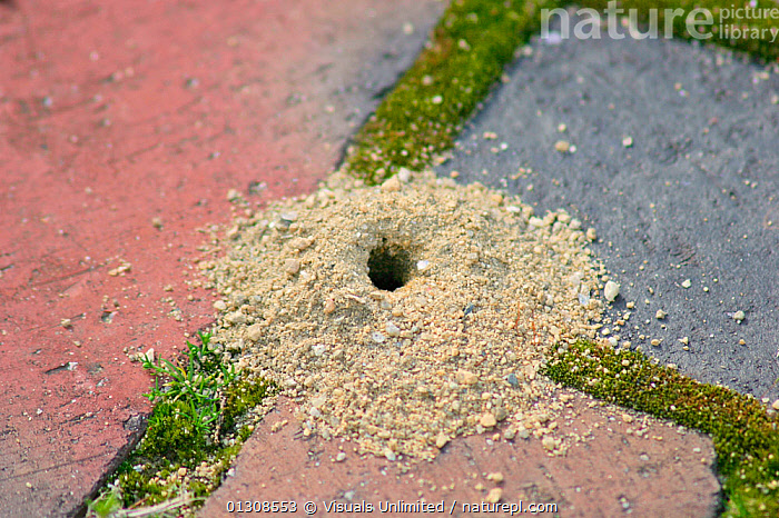 Close up of an Ant hill between paving stones., ANGLE,ANT,CLOSE UP,COLOR,HIGH,HILL,NEST,OUTDOORS, Visuals Unlimited