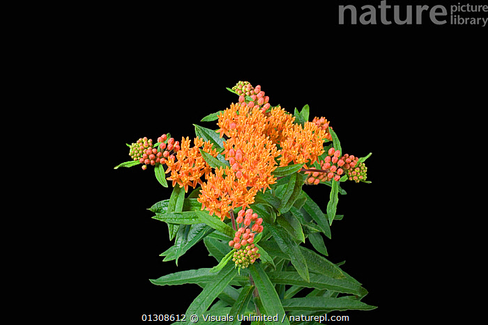 Butterfly weed flowers (Asclepias tuberosa), ANGLE,ASCLEPIAS,BLACK,BUD,BUTTERFLY,COLOR,FLOWER,GARDEN,HIGH,MILKWEED,PLANTS,SHOT,STUDIO,TUBEROSA,WEED,YELLOW, Visuals Unlimited