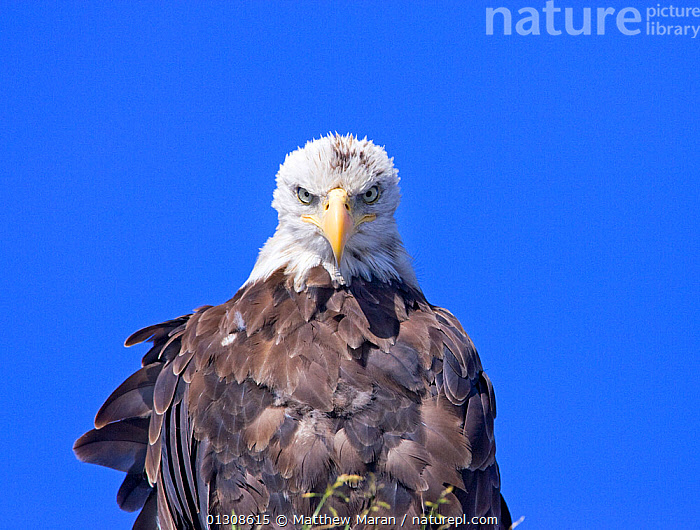 Young Bald eagle (Haliaeetus leucocephalus) portrait, Barkley Sound, Vancouver Island, British Columbia, Canada, BIRDS,BIRDS OF PREY,CANADA,CUTOUT,EAGLES,EYES,FEATHERS,NORTH AMERICA,PORTRAITS,SKY,VERTEBRATES,Raptor, Matthew Maran