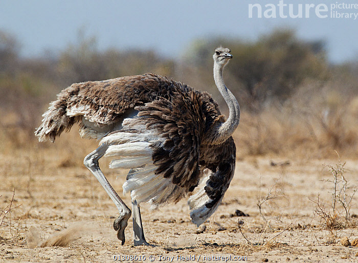 Ostrich [Struthio camelus] courtship display by female, Etosha National Park, Namibia, August, AFRICA,BEHAVIOUR,BIRDS,DISPLAY,FEMALES,FLIGHTLESS BIRDS,MATING BEHAVIOUR,NAMIBIA,NP,OSTRICHES,RESERVE,RUNNING,SOUTHERN AFRICA,VERTEBRATES,Communication,National Park, Tony Heald