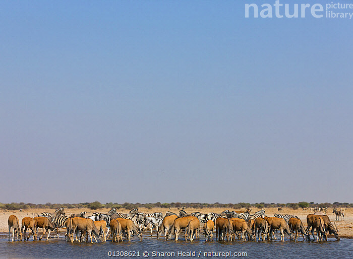 Mixed herd of Eland [Taurotragus oryx] and Zebra [Equus quagga] drinking at waterhole, Etosha National Park, Namibia, August  Photo by Sharon Heald, AFRICA,ANTELOPES,ARTIODACTYLA,BOVIDS,DRINKING,GROUPS,LANDSCAPES,MAMMALS,MIXED SPECIES,NAMIBIA,NP,PERISSODACTYLA,RESERVE,SOUTHERN AFRICA,VERTEBRATES,WATER,WATERHOLE,ZEBRA,National Park, Sharon Heald