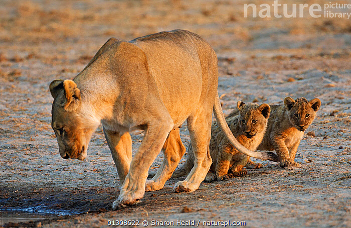 African lion [Panthera leo] mother leading two very young cubs to water, Etosha National Park, Namibia, August, AFRICA,BABIES,BIG CATS,CARNIVORES,CUTE,DRINKING,FAMILIES,FEMALES,LIONESS,LIONS,MAMMALS,MOTHER BABY,NAMIBIA,NP,RESERVE,SOUTHERN AFRICA,VERTEBRATES,WATER,National Park, Sharon Heald