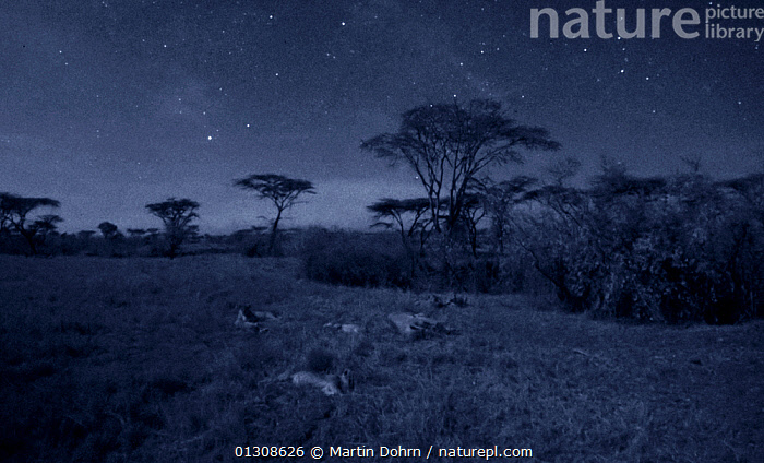 Lion family (Panthera leo) resting after feeding, Masai Mara, Kenya.