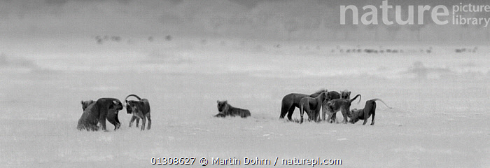 Lioness (Panthera leo) growling at hers and her sister�s unruly cubs as they try to persuade their mother to take them hunting. Masai Mara, Kenya. Image taken at night using thermal camera technology without artificial lighting., AFRICA,BIG CATS,CARNIVORES,DARK,LIONS,MAMMALS,NOCTURNAL,PRIDE,VERTEBRATES, Martin Dohrn