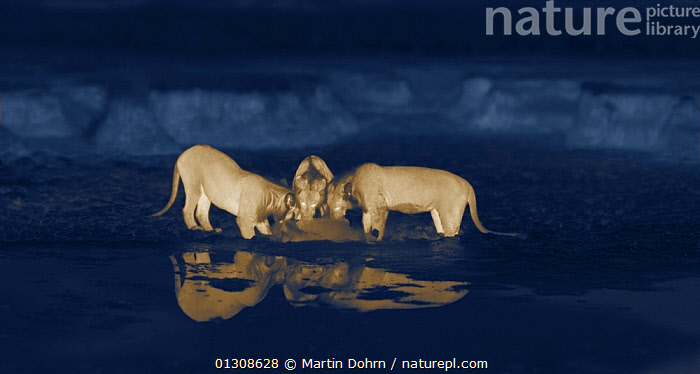 Thermal image of three young male lions (Panthera leo) feeding on a rotting zebra foal that had drowned in the mud. Masai Mara, Kenya. Image taken at night using thermal camera technology without artificial light., AFRICA,BEHAVIOUR,BIG CATS,CARNIVORES,DARK,EATING,LIONS,MAMMALS,NOCTURNAL,PREDATION,VERTEBRATES, Martin Dohrn