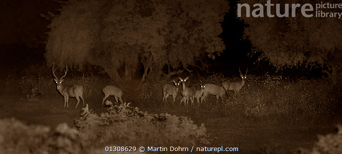 Chital / Spotted deer herd (Axis axis), Yala National Park, Sri Lanka. Image taken at night using infa red camera technology without artificial light., ALERT,ARTIODACTYLA,ASIA,CERVIDS,DARK,DEER,EYES,GLOWING,INDIAN SUBCONTINENT,INFARED,MAMMALS,NOCTORNAL,SPOTTED DEER,VERTEBRATES, Martin Dohrn