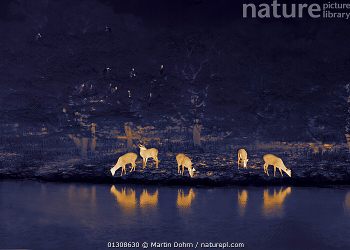 Chital / Spotted deer (Axis axis) grazing at the waters edge with storks and egrets roosting above. Yala National Park, Sri Lanka. Image taken at night using thermal camera technology without artificial light., ARTIODACTYLA,ASIA,CERVIDS,DARK,DEER,FEEDING,HERD,INDIAN SUBCONTINENT,MAMMALS,NOCTURNAL,SPOTTED DEER,VERTEBRATES, Martin Dohrn