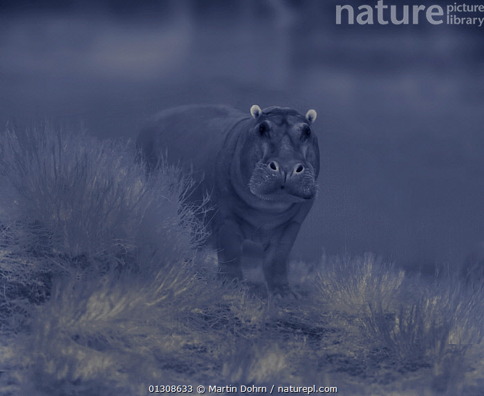 Hippo (Hippopotamus amphibius) in threat pose, Masai Mara, Kenya. Image taken at night using thermal camera technology without artificial lighting., AFRICA,AGGRESIVE,ARTIODACTYLA,BEHAVIOUR,DARK,HIPPO,HIPPOPOTAMUSES,MAMMALS,NOCTURNAL,VERTEBRATES, Martin Dohrn