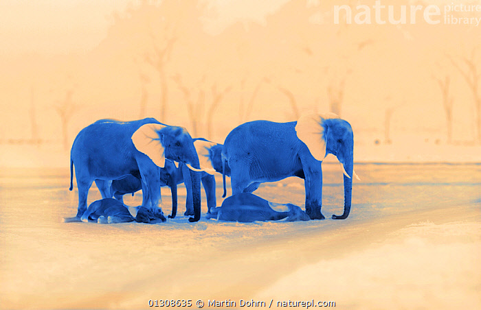 Sleeping African elephants (Loxodonta africana), two adults and offspring, Masai Mara, Kenya. Image taken at night using thermal camera technology without artificial light., AFRICA,BEHAVIOUR,DARK,ELEPHANTS,ENDANGERED,HERD,LYING,MAMMALS,NOCTURNAL,PROBOSCIDS,RESTING,VERTEBRATES, Martin Dohrn